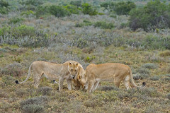 Lioness and 2 Cubs bonding after a failed Hunt: Eastern Cape, South Africa (cirdantravels) Tags: feline leo lion lioncub panthera