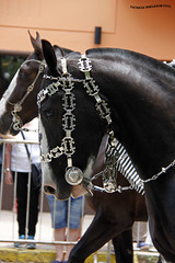 Desfile del Dia de Tradicion (pniselba) Tags: horse criollo caballo buenosaires gauchos gaucho tradicion provinciadebuenosaires sanantoniodeareco areco diadelatradicion