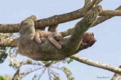 Perezoso bayo, Oso perezoso (Bradypus variegatus), Brown-throated Sloth. (Sergio Bitran M) Tags: costarica mammalia 2016 mamifero peresozo brownthroatedsloth bradypusvariegates osoperesozo peresozobayo