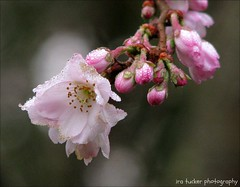 The road to success.... (itucker, thanks for 1.9+ million views) Tags: macro cherry blossom bokeh cherryblossom dukegardens autumnalis