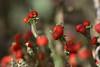 Matchstick Lichen (Gillian Pullinger) Tags: red nature surrey lichen thursley cladonia britishsoldiers cristatella matchsticklichen