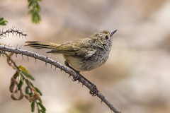 Brown Thornbill 2015-12-26 (_MG_7197) (ajhaysom) Tags: australia melbourne australianbirds greenvale brownthornbill acanthizapusilla canoneos60d sigma150600 woodlandshistoricpark