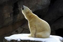call of the wild (ucumari photography) Tags: bear animal mammal zoo oso nc north polarbear carolina anana eisbr ursusmaritimus  oursblanc osopolar  ourspolaire orsopolare jkarhu specanimal  dsc6579 ucumariphotography sbjrn niedwiedpolarny