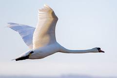 Mute swan (female) (badger2028) Tags: female flying swan mute cygnus olor