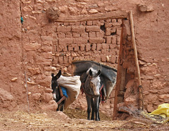 Beasts of Burden (Ellsasha) Tags: northafrica morocco restoration mules kasbah aitbenhaddou