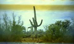 Olympus Trip 500, Kodak Max 400 (K e v i n) Tags: arizona cactus film nature analog cacti 35mm outside desert az scan dirtroad saguaro kodakmax400 sonorandesert marana olympustrip500 epsonv500