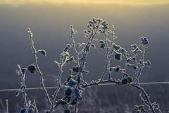 Winter Sunset (Macro light) Tags: winter sunset cold ice sunshine fog frozen wintersunset worcestershire brambles