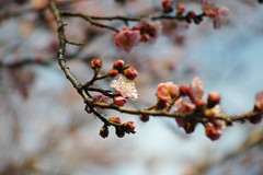 DP3M6825r (ken_sw) Tags: spring sigma apricot foveon dp3merrill