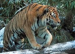amurtiger amersfoort JN6A2895 (j.a.kok) Tags: tiger tijger amersfoort amurtiger amoertijger pantehratigrisaltaica