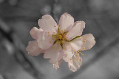 _MG_4592RET (rblazquezb) Tags: flowers naturaleza macro nature photoshop cutout flor almond almendro desaturación photomacro