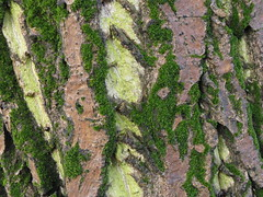 IMG_1756 Kiss nedves difakreg algval s mohval (NagySandor.EU) Tags: alga di moha juglansregia pleurococcus difa fakreg zldmoszat chaetophoraceae