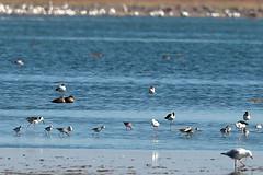 Greenshanks and Marsh Sandpipers (blachswan) Tags: water teal australia victoria wetland blackwingedstilt marshsandpiper silvergull greenshank lakeburrumbeet redneckedavocets