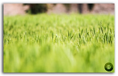 Field of green wheat plant stands tall with the setting sun! (FotographyKS!) Tags: travel autumn summer sky food sun sunlight plant abstract motion color macro green art texture nature floral beautiful beauty field horizontal rural sunrise garden season landscape outdoors photography golden daylight healthy stem corn nikon focus scenery colorful bright bokeh outdoor farm vibrant background wheat horizon grain harvest grow seed vivid sunny blurred farmland depthoffield business growth crop tropical fields environment agriculture nikkor majestic nikondigital wheatfields shallowdepth torpical beautyinnature kreative supershot nikkor300mm photoborder flickrunitedaward