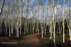 IMG_0933 (Emma Gordon10) Tags: trees nature abbey gardens forest silver landscape outdoor birch anglesey