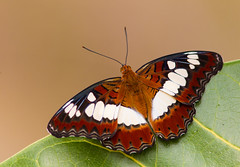 Commander Butterfly (Allan Drewitt) Tags: india butterfly tiger ngc reserve lodge commander tadoba moduzaprocris svasara allandrewitt