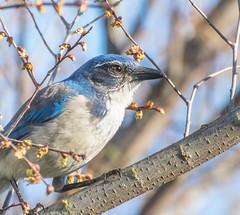 Old and Wise. (Omygodtom) Tags: wild abstract bird nature outdoors nikon natural wildlife animalplanet scrubjay d7100 nikon70300mmvrlens