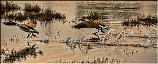 A Foot Race Across The Marsh