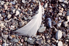 macro of an old feather laying on a beach (Armin Staudt) Tags: old macro bird abandoned beach nature stone closeup lost one sand outdoor background feather blurred nobody dirt pebble single weathered algae mussel textured