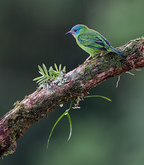 Blue Dacnis (f) (Moira F.) Tags: nature birds female costarica bluedacnis