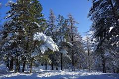 Winter Tree Wonderland (steve_whitmarsh) Tags: trees winter snow ice scotland aberdeenshire braemar scottishhighlands