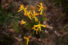 20150821_113130_IMG_1189AB (aud.watson) Tags: wildflowers cervantes westernaustralia kangaroopaws hillriverreserve