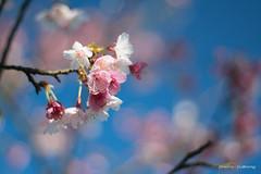 DSC00045 (sigma9988) Tags: cherry 50mm blossom bokeh sakura f18   oreston  gorlitz meyeroptik