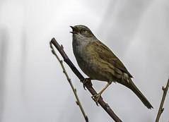 Heckenbraunelle in unserem Garten (hardi_630) Tags: bird dunnock prunellamodularis vogel singvogel heckenbraunelle