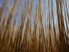 vibrieren (Jrg Paul Kaspari) Tags: abstract grass spring move bewegung gras minimalism miscanthus mosel abstrakt frhling vibration motus wackelig chinaschilf wackeln vibrieren riesenchinaschilf kennerflur
