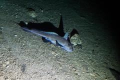 Ghost shark (ianc7777) Tags: leica sony submarine stanley karl roatan exploration institue deepsea idabel trielmar a7rii