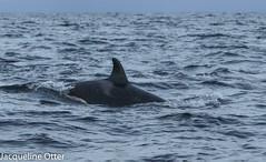 orca (jacqy85) Tags: norway wildlife dolphins whales orca killerwhales andenes orcinusorca noorwegen cetacean orka spekhoggere