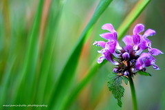 Flower of the Field (mariaminhota) Tags: flower green nature colors beauty field grass spring peace peaceonearth purpleflower 2016 canonlens naturebeauty naturalpainting platinumheartaward flowerofthefield canoneos70d mariaminhotaphotography 50mm18stm