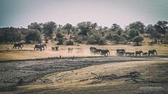 The March Of The Elephants (Chiara Salvadori) Tags: africa travel winter sea wild sun elephant nature animal river landscape southafrica spring bush outdoor dry safari dirt savannah traveling krugernationalpark kruger sudafrica