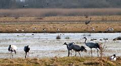 Traner og gravnder. Cranes and shelducks (ajhm44) Tags: crane trane grus gravand tadorna trana pulken sheldluck
