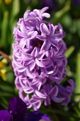 Hyacinth (Keith Mac Uidhir  (Thanks for 3.5m views)) Tags: ireland dublin irland dublino irlanda irlande ierland irska dubln irlandia lirlanda irsko  airija irlanti  cng  iirimaa ha     rorszg         rlnd