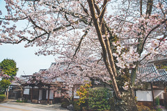 -  (Vince-leo) Tags: plant japan spring kyoto    sakura cherryblossoms kansai  kiyomizu        nikond810
