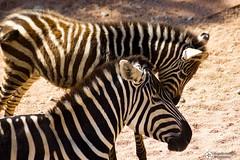 _DSC5759 (alessandro.spagnolli) Tags: zoo natura tamronlens naturalistica lecornelle parcofaunistico sonyalpha77