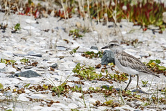 New Zealand Dotteral (fantommst) Tags: newzealand bird beach auckland nz omaha endangered northland endemic charadrius dotterel obscurus tuturiwhatu pukunui lisaridings fantommst