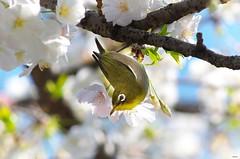メジロとさくら (Matryokeshi) Tags: flowers bird japan tokyo cherryblossom 日本 sakura 東京 mejiro chidorigafuchi さくら 千鳥ヶ淵 весна птица メジロ flowerlover сакура япония токио цветениесакуры spring2016 сакуравтокио birdintokyo мэдзиро