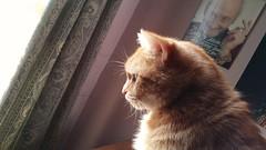 Taz. (julzz2) Tags: cats pets animal animals mycats felines cutecats gingercats pussycats animalfaces catsfaces sunnycats felinefaces petsfaces