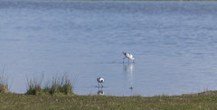 Avocet (21) (Mal.Durbin Photography) Tags: nature birds newport naturereserve newportwetlands maldurbin goldcliffnewport