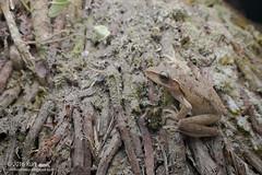 Polypedates leucomystax_MG_1410 copy (Kurt (OrionHerpAdventure.com)) Tags: amphibian frog amphibia tropicalfrogs polypedatesleucomystax fourlinedtreefrog frogsofmalaysia