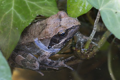 Rana italica (Eugenio_81) Tags: portrait macro eye nature animal animals wildlife sigma amphibian natura frog frogs rana ritratto animale italica 105mm anura amphibia anfibio anfibi cervaro anuro ranaitalica anuri