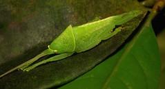 Katydid Nymph (Pseudophyllinae, Tettigoniidae) (John Horstman (itchydogimages, SINOBUG)) Tags: china macro green topf25 insect bush cricket yunnan nymph katydid orthoptera tettigoniidae pseudophyllinae itchydogimages sinobug