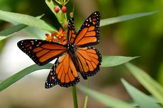 Flirty Monarchs DSC_1413 (blthornburgh) Tags: orange flower nature closeup butterfly tampa spring backyard pattern florida outdoor monarch milkweed flyinginsect danausplexippus milkweedbutterfly monarchdanausplexippus thornburgh