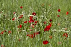 Dans les champs (Philis.Nat) Tags: vertes pr herbes coquelicots gramines champtre
