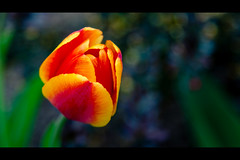 Tulip (rg69olds) Tags: flowers red plant flower nature yellow canon spring nebraska tulip omaha brighter 6d canondigitalcamera canonef24105mmf4lisusm wehrspannlake canoneos6d 04172016