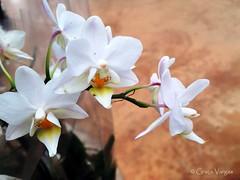 mini o r c h i d ( Graa Vargas ) Tags: orchid flower mini orquidea iphone graavargas falenpsis phalaenopsisxhybridus appleiphone6 2015graavargasallrightsreserved