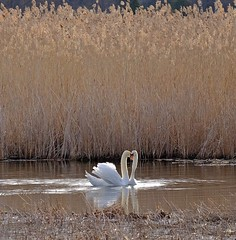 DSCF4500 (Peter Ghita) Tags: lake nature spring seasons swans fujinonxf55200mmf3548rlmois fujifilmxt1