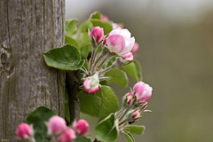 Spring is making me blush.... (eleni m (sorry if I can't keep up)) Tags: pink flowers white tree green apple leaves spring groen branch dof blossom outdoor appel pole blaadjes lente wit bloesem bloemen tak roze boompje paal