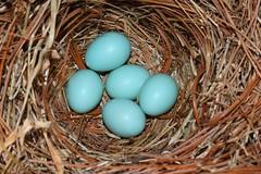 Eastern Bluebird (Sialia sialis) Nest (Steve Byland) Tags: bird canon nest 7d eggs bluebird eastern markii sialis sialia